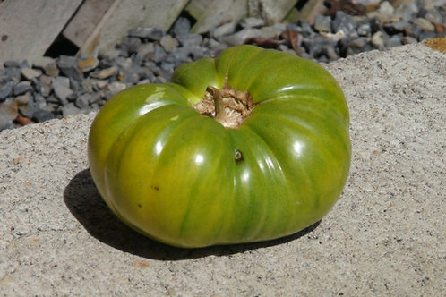 Here is the Emerald Evergreen Tomato aka Emerald Green Tomato, Solanum lycopersicum. Introduced in 1950 by Glecklers Seedsmen