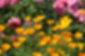 California Poppy Orange