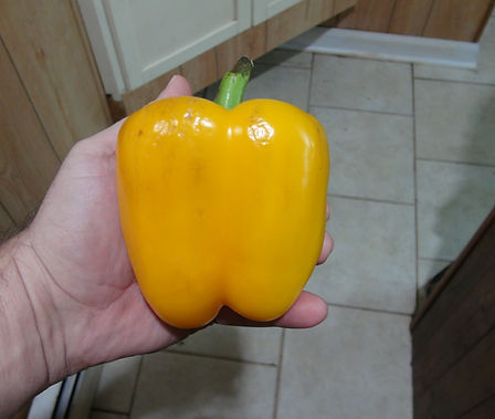 Here is the Golden California Wonder Pepper, Capsicum annuum, Scoville units: 000SHU.The Golden California Wonder Pepper originates from California USA since 1928. This pepper is a beautiful golden yellow and has a rich crispy pepper flavor. They are a good producer and has a good shelf life once picked. They make a great market produce and sell out very fast! They tend to be early but best to pick the first few off before they ripen for a larger fall harvest. Plants can get to 3 feet tall and are bushy. One plant can produce a dozen golden peppers or more at 4 to 6 inches in size. Open pollinated, 75 days.
