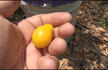 Here is the Yellow Pear cherry tomato Solanum lycopersicum seeds are a wonderful heirloom variety which ripens later than other cherries but are well worth the wait. The pale-yellow, soft, mild tomatoes look just like miniature pears and they appear by the hundreds on a tall plant. Colourful in salads, sliced or in preserves. Resistant to Fusarium wilt race 1, Fusarium wilt race 2, and Verticillium wilt. These Yellow Pear tomato seeds yield fruit that is sweetest when it just turns from yellow to light orange. Vine (indeterminate), Matures in 65-75 days.