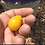 Here is the Yellow Pear cherry tomato Solanum lycopersicum seeds are a wonderful HEIRLOOM variety which ripens later than oth