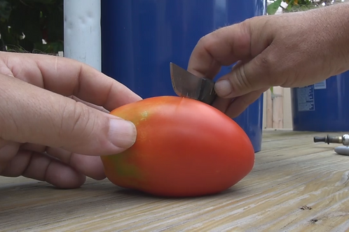 Here is the Polish Linguisa Tomato, Solanum lycopersicum. It's a fat sausage shaped tomato bearing red ripening fruits that g