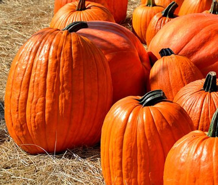 Here is the Jack O' Lantern Pumpkin, Cucurbita maximais. This is thepumpkin that you see every Halloween an makes a great carving pumpkin! The seeds are great for roasting an the rind can be made into pie or soup though its not as sweet as pie pumpkins you will need to add sugar. Can get to 2 feet around and 25 Lbs in weight and are orange in color with that classic Halloween pumpkin shape! This is also the preferred variety used in pumpkin carving contest. The vines can get to 20 feet long but are susceptible to powdery mildew. We like to use them for Halloween displays and making pie if we dont carve it. Open pollinated 110 days.