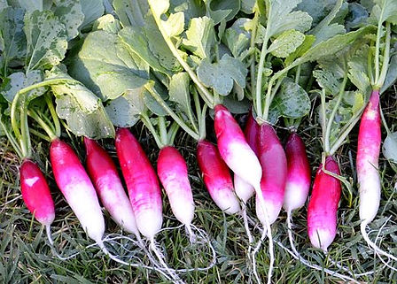 Here is the French Breakfast Radish,Raphanus sativus.This is an oblong radish witch sometimes has crunchy round red white roots. The French Breakfast radish is known for its vibrant coloring and is also known as Flambeau, Flambo and Les Radis Petit Déjeuner. They get to around 3 inches long and dark pink on top with white on the bottom. This radish variety is a bit more spicy then others and has a bite to it! Radishes can be useful as companion plants for many other crops, probably because their pungent odor deters such insect pests as aphids. This is also a great starter vegetable for new gardeners.Open pollinated, 40 days.