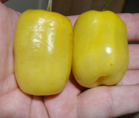 Here is the Manzano Yellow Pepper, Capsicum pubescens, scoville units: 30,000 SHU. It is a black seed variety! Extremely hot, yellow colored pepper looking much like the habanero or cherry pepper. Seeds are from the rarer yellow-skinned type. This pepper is a Rocoto Tree Pepper relative and is noted for its cold hardiness, as it naturally grows on Andean mountain slopes. This pepper will survive several degrees below freezing. Plants grow to 2 to 6 feet tall and can live for many years. Open pollinated 120 days.