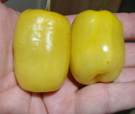 Here is the Manzano Yellow Pepper, Capsicum pubescens, scoville units: 30,000 SHU. It is a black seed variety! Extremely hot, yellow colored pepper looking much like the habanero or cherry pepper. Seeds are from the rarer yellow-skinned type. This pepper is a Rocoto Tree Pepper relative and is noted for its cold hardiness, as it naturally grows on Andean mountain slopes.This pepper will survive several degrees below freezing. Plants grow to 2 to 6 feet tall and can live for many years. Open pollinated 120 days.