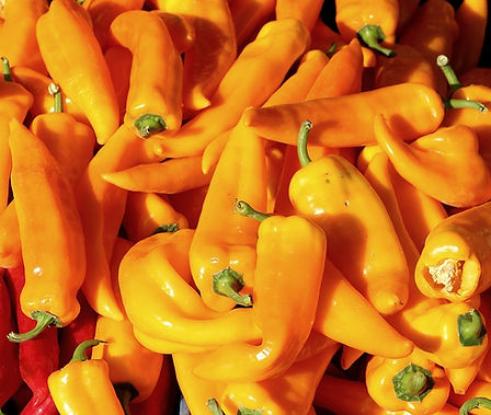Here is the Hungarian Yellow Wax Pepper, Capsicum annuum, Scoville Units: 1,000 to 15,000 SHU. This Heirloom Pepper variety is often seen in grocery stores but is not the same thing. The Hungarian peppers seen in stores are a commercial variety. They go from a lime green to yellow then to red or crimson when mature. Heat on them can range from low to moderately hot but we haven't found them to be to much hotter then a mild jalapeno. Pods range from 4 ~ 6 inches long. Plants are good producers and get to around 24 inches but can get to 30 inches in good soil. Makes a great house plant when pruned. Open pollinated over 70 days.