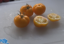 "Here is the Mountain Gold Tomato, NC 84173, Solanum lycopersicum, new for 2019. Released in 1991, developed by Dr. Randy Gardner at the North Carolina State Mountain Horticultural Crops Research Station. This Indeterminate, regular leaf tomato plant produces good sized, golden, tomatoes and is a heavy producing variety that originates from the USA. Very hardy and resistant to most blights. The fruits do vary in size an shape and can reach 2.5"" and 5 to a bract. Great for snacking or making sauces and salads, open pollinated 75 days. PVP expired in 2010."
