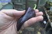 Here is the Purple Marconi Pepper, Capsicum annuum, Scoville Units: 000 SHU. The Purple Marconi Pepper is said to originate from Italy but this is not confirmed. It is also considered to be the rarest form of the Marconi peppers. It was Awarded the All-America Selections recognition in 2001. Plants don't tend to grow over 2.5' high and the peppers get to around 6 inches. One plant can produce about a dozen peppers 4 to 6 inches long. Tho the fruits look black they are really a deep dark purple color. Open pollinated, 75 days.
