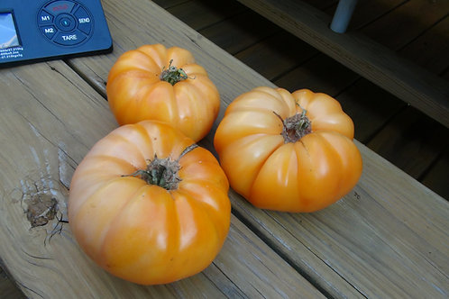 Here is the Kellogg's Breakfast Tomato, Solanum lycopersicum, It is a West Virginia heirloom obtained from Darrell Kellogg of