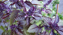 Here is the Red Rubin Basil,Ocimum basilicum 'Purpurascens'. It is an improved variety of Dark opal basil. Like many culinary basils, it is a cultivar of Ocimum basilicum (sweet basil). This basil variety has unusual reddish-purple leaves, and a stronger flavour than sweet basil, making it most appealing for salads and garnishes. It is a fast-growing annual herb that reaches a height of approximately 2.3 ft.Easy herb the grow! Open pollinated 20 to 100 days.