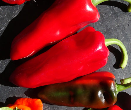 Here is the Tatli Boynuz Biber Pepper (Sweet Horn Pepper), Capsicum annuum, Scoville units: 000 ~ 50 SHU. This Turkish sweet pepper is very popular in the middle east. Plants are heavy producers with horn-like like peppers an goes from lime green to red! Fruits can reach 6 inches long but average about 5 inches long and tend to taper to a point with broad shoulders. Plants get to 3 feet tall and very stocky but can get a little bigger. They are used to make paste as well as eaten fresh and is a street market variety. These peppers make a great pickling pepper. Open Pollinated, 75 days from transplant.