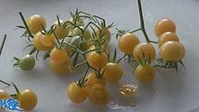 White Current Tomato