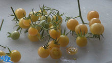 White Current Tomato