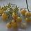 Here is the White Currant Tomato, Solanum pimpinellifolium. This indeterminate, regular-leaf currant tomato was originally fr