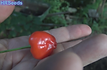 Here is the Peito de Moça Pepper, Capsicum baccatum, Scoville units: 10,000 ~ 50,000 SHU. This pepper originates from Brazil andis the correct cultivar of this variety. Peito de Moça translates in Portuguese to - young woman's chest. It has a distinct nipple look at the bottom of the pepper. It's alsoa medium to low heat pepper with a nice taste! One plant can produce over 100peppers in a season. Plants get to around 5 feet tall and can over winter easy in a one gallon pot. You can Grow it as an ornamental, or in the vegetable garden, or both! Open pollinated, 70 days.