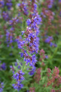 Blue Hyssop,Hyssopus officinalis is native to Southern Europe has properties as an antiseptic, cough reliever, and expectorant. It's A brightly blue colored flowering perennial shrub and Its leaves are lanceolate, dark green in color. This plant is refferenced in the bible many times. This species as a whole is resistant to drought, and tolerant of chalky, sandy soils. It thrives in full sun and warm climates. Open pollinated 75-85 days from seed