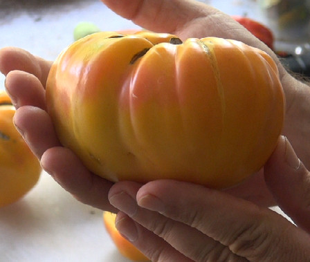 Here is the Virginia Sweet Tomato, Solanum lycopersicum. This tomato originated from Virginia, USA. These tomatoes can get to 2+ Lbs easy! It is Bi-color Red and Yellow with slightly green shoulders and is great for making sauce and ideal for slicing. Highly productive and produced fruit all the way up to the end of the tomato season! Open pollinated, Indeterminate, 75 days.