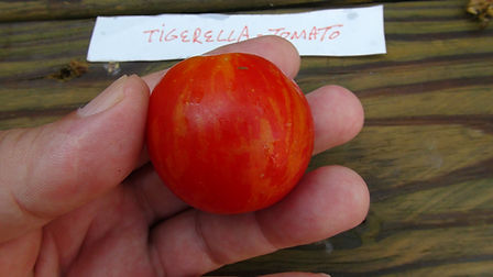 The Tigerella tomato,  Lycopersicon esculentum is a flashy, short-season type tomato and comes from England, where the Tigerella Tomato is grown in a short season hothouse and is a favorite in Great Britain. The skin becomes bright red with orange stripes that tastes fantastic too! Open pollinated Indeterminate. (55-75 days)