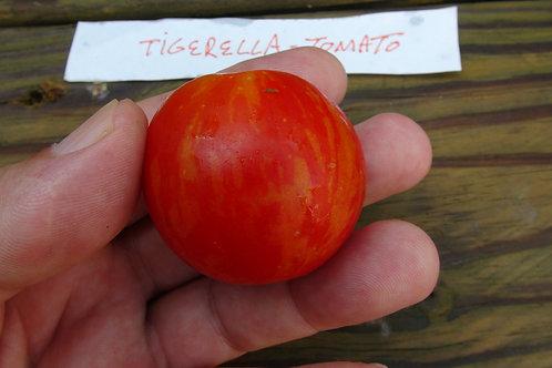 The Tigerella tomato, Lycopersicon esculentum is a flashy, short-season type tomato and comes from England, where the Tigere