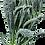 Dinosaur Kale aka Lacinato blue kale