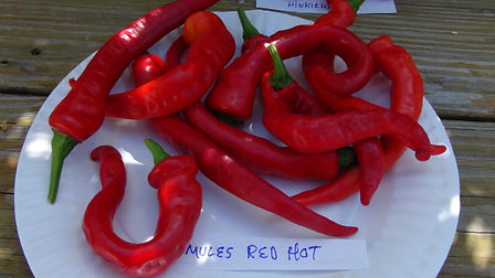Here is the Maule's Red Hot Pepper, Capsicum Annuum, Scoville units: 15,000 to 50,000 SHU. It is also known as the Lady Finger pepper. This high yielding variety is very productive bearing dozens of peppers even in short season climates. Glossy red, 10 to 12 inch Cayenne type fruits, and of similar heat. Makes a fine sort for picante sauce or drying. Originally introduced by William Maule Seed Company of Philadelphia in 1912. Plants get to around 3 feet tall but can get bigger in full sun light. We found it to be a great frying pepper. Open pollinated 75 days.