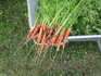Here is the Tendersweet Carrot,Daucus carota subsp. sativus.This is a very popular carrot variety among gardeners. It is a great market variety and often sold in grocery store. is a long orange carrot and sometimes called chantenay carrot type. These long and stout carrots are an all American heirloom yielding long orange roots that grow from7 to 12 inches long and uniform. They go great in any dish and have a nice slightly sweet flavor to them. These carrots grow well in soft loamy soil. Open pollinated 68 to 75days.