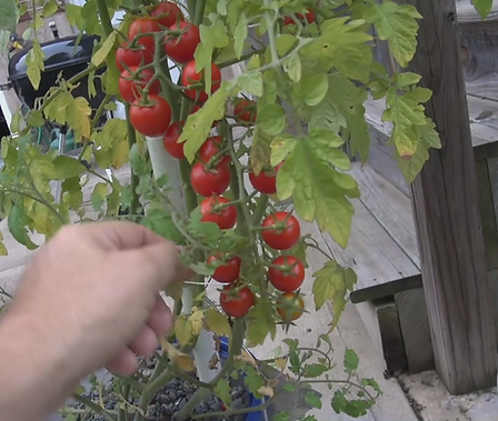 Here is the Sweet million tomato, Solanum lycopersicum, This indeterminate, regular-leaf cherry tomato is a Disease Resistance:TMV hybrid tomato. It will form a chain bract of about 15-20 and hang all the way down to the ground. They are an improved version of the sweet 100 tomato. It has a sweet and juicy tomato flavor and is a heavy producer! Open pollinated. Indeterminate. 50-70 days.