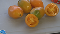 Here is the Orange Banana Paste Tomato, Solanum lycopersicum. This indeterminate, regular-leaf tomato was originates from Russia. Offered by the Moscow seeds woman Marina Danilenko, These elongated shaped fruits are considered a paste tomato due to having low water content. it's also low acid more than the standard paste tomatoes, reaching a width of about 2 inches and a length of about 3 inches. Great for making sauces, Open pollinated 75 days.