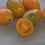 Here is the Orange Banana Paste Tomato, Solanum lycopersicum. This indeterminate, regular-leaf tomato was originates from Rus