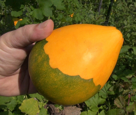 Here is the Tatume, Cucurbita pepo, and is also know as the tatuma. Popular in Mexico and south Texas, this squash is very much a gourd when it turns orange! It is eaten when its small. The vine can grow up to 20' long and put out as many as 12 per vine. If left to cure an dry through out the winter and can be made into a bird house! Tatume is one of the rarest varieties of squash that can be harvested as either a summer or winter type. The fruits of the Tatume squash are round or oblate in shape. It's PM/DM resistant and will come up on its own if left out all winter.  We found it to bitter for our taste but still fun to grow! Open pollinated 70-80 days.