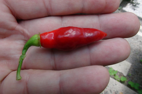 Here is the Condors Beak Pepper, Capsicum chinense, Scoville units: 30,000 to 50,000 SHU. The Condors Beak Pepper also known