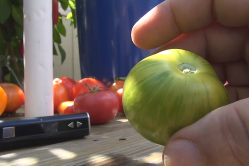 Here is the Green Zebra Tomato Solanum lycopersicum One of the most unusual tomatoes in the tomato markets today.The green z