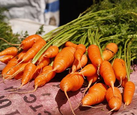 Here is the Chantenay Red Cored Carrot,Daucus carota subsp. sativus.It was Introduced in France in the late 1800's andwas introduced into the USA in 1929 by Ferry Morse. They are a broad shouldered variety ranging in size from 3 to 5.5 inches long with tops about 1.25 inches across. They don't actually have a red core however we have had a few that had a dark orange-red core! They are a lightly sweet and crunchy and can be picked before they are full colored. We find them great for fresh eating and great in soups and stews. Great tasting, tender and crisp, good for all levels of gardener experience. Open pollinated 60 to 75days.