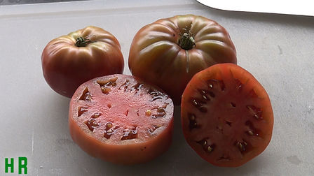 """The Black From Tula Tomato is a Russian heirloom imported by SSE and offered to members in 1996. Made available commercially by SSE as part of the Russian Collection in 1998. Described by one SSE member as """"the ugliest, most delicious tomato I've ever grown."""" Good yields of brownish-red slightly flattened globes weighing up to 14 ounces. Rich full flavor, great for slicing and canning. Indeterminate, 75-85 days from transplant."""