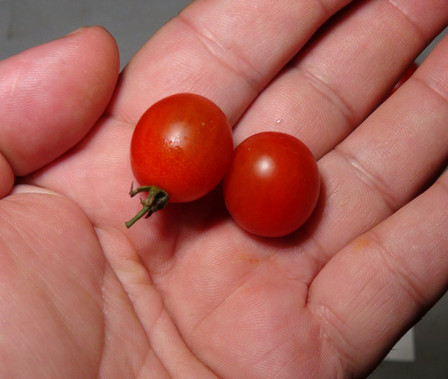 Here is the Wild Tomato From Italy, Solanum lycopersicum. This tomato originates from the mainland of Italy. We have made hundreds upon hundreds of seed trades throughout the years and this is one of them. These small wild cherry tomatoes is said to grow wild throughout Italy and has no real background or history. We sometimes let them grow ever year for our own eating and sharing with neighbors as they come up almost ever year as volunteers ever since we received the seeds. This variety is a massive producer with numbers in the hundreds or even thousands of fruits! It is a small oblong cherry sized tomato that has a red skin when fully ripe with a red flesh inside getting to about .6 inch round-long and weighting around .125 oz. The thing about this variety is this tomato re-seeds it's self ever year! Plants can get to 12 feet tall with over a dozen tendril branches in really good soil but plants tend to get to 10 feet tall and are very heavy producers. The fully ripened fruits will h