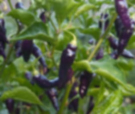 Here is the Condors Beak Pepper, Capsicum chinense,Scoville units:30,000 to 50,000 SHU. The Condors Beak Pepper also known as theCajamarca originates from the northern Peru. Do not confuse this pepper with the Pink tiger pepper which may look similar. It is a very hot pepper with thin walls and gets its name from the beak shape of the Condor. They go from purple-white in color to red when fully ripe. This pepperplant gets to around 3 feettall but most of the time it only gets 24 inches tall and bushy. One plant can produce dozens or more with about 1.5 to 2.5 inchlong peppers. You can Grow it as an ornamental, or in the vegetable garden, or both! Open pollinated 100 days.