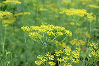 """The Dill weed plant,Anethum graveolens comes in a few varieties. This listing is for the common Dill. It is an annual herb in the celery family.Dill is grown widely in Eurasia, where its leaves and seeds are used as a herb or spice for flavoring food.Fresh and dried dill leaves (sometimes called """"dill weed"""" or """"dillweed"""" to distinguish it from dill seed) are widely used as herbs in Europe, Central Asia and throughout north america.Dill is best when used fresh, as it loses its flavor rapidly if dried. However, freeze-dried dill leaves retain their flavor relatively well for a few months. Plants get to3 to 4 foot tall with fern like foliage. Open pollinated 55 to 80 days depending on the stage you want to harvest."""
