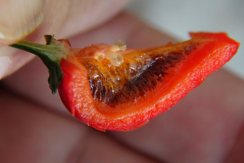 Here is the HR 116 Black Rib Pepper, Capsicum annuum,Scoville units: 80,000 ~ 200,000 SHU. This pepper was created by Heirlo