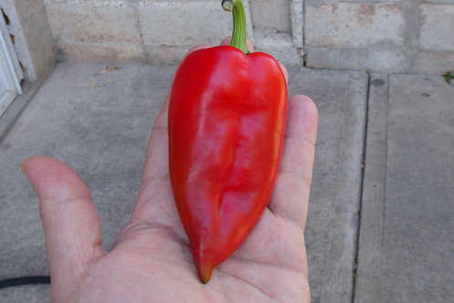 Here is the Tekne Dolmasi Pepper, Capsicum annuum, Scoville units: 000 SHU. This pepper originates from turkey. It is widely