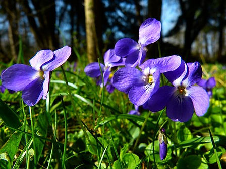 "The Viola Purple, Viola sororia or Viola papilionacea is a highly variable wildflower is the earliest violet to bloom in the spring and can be found in woodlands, meadows and even lawns. It can be distinguished from the many other species of violets because only the two side petals are ""bearded"" (having a row of white hairs) and the lower petal is longer. Most species are found in the temperate Northern Hemisphere. Some Viola species are perennial plants. In horticulture the term ""pansy"" is normally used for those multi-coloured, large-flowered cultivars.The terms ""viola"" and ""violet"" are normally reserved for small-flowered annuals or perennialsViola reichenbachiana. 60-70 days."