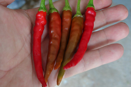 Here is the Corno di Capra Pepper, Capsicum annuum, Scoville units: 1,000 ~ 10,000 SHU. This pepper originates from the Lucan