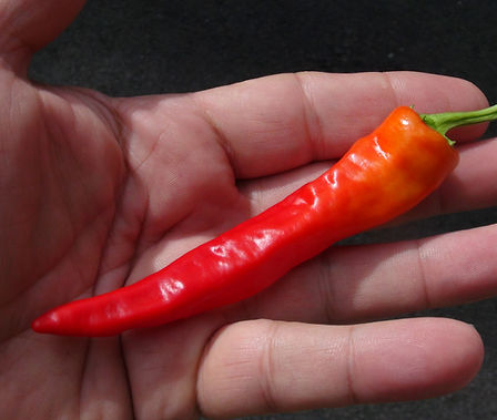 """Here is the Shattah Pepper, Capsicum annuum, Scoville Units: 2,000 ~ 15,000 SHU. This Pepper originates from the middle east and is mainly used the make """"Shattah Paste"""" hence the name. The heat on them can have a wide range but we haven't found them to be to much hotter then a jalapeno. Pods range from 2 ~ 6 inches long and go from green to red when ripe with skins a little on the thick side. Plants are good producers and get to around 24 inches but can get to 30 inches in good soil. Makes a great house plant. Open pollinated over 80 days."""