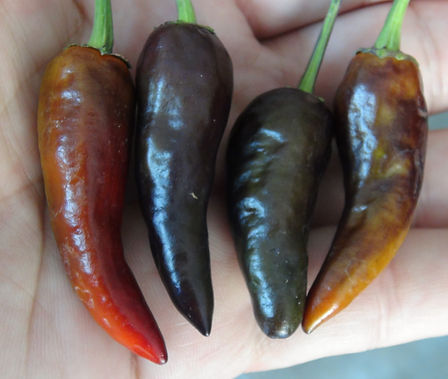 Here is the Short Purple Cayenne Pepper, Capsicum annuum,Scoville Units: 30,000 SHU. This variety is a short upright purple cayenne pepper. We originally sourced our seed as a long purple cayenne pepper but instead this is what came out! This pepper variety is very productive and produces fruit all summer long and even in winter months if you bring it in. Pods are about 1.5 to 2 inches long and 3/8 inch wide at the base. Plants and fruits get a very dark purple almost black color then ripen to red. Plants get to 2 feet tall with hundreds of peppers on it. Some pods can be very hot so be careful! Open pollinated 65 days from transplanting.