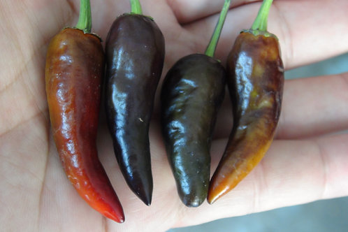 Here is the Short Purple Cayenne Pepper, Capsicum annuum, Scoville Units: 30,000 SHU. This variety is a short upright purple