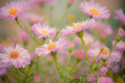 Here is the Chinese Aster Crego Mix, Callistephus chinensis, with it's showy blooms feature distinctive curly petals and beau