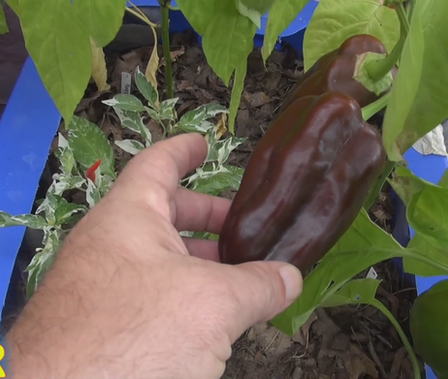 Here is the Sweet Chocolate Pepper, Capsicum Annuum, Scoville units: 000 SHU. This is a sweet semi bell shaped bell pepper that ripens from green to dark brown chocolate color. The fruit has blunt ends, thick walls, and is medium in size. Plants tend to stay short about 30 inches and can put out a dozen or more peppers! A must have if you don't like heat in your peppers. Open pollinated, 95 days.