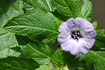The shoo-fly plant, Nicandra physalodes is in the nightshade family. It's originally a native to Peru but now found in temperate areas all over the world. Plants grow to 3 feet tall and are vigorous with spreading branches and ovate, mid-green, toothed and waved leaves. The flowers are bell-shaped an purple/blue in color. The plant, flowers and seeds are NOT edible. 60-70 days.