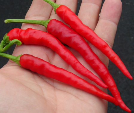 Here is the Corno di Capra Pepper, Capsicum annuum, Scoville units: 1,000 ~ 10,000 SHU. This pepper originates from the Lucania and Campania regions of Italy and is widely used across the country. There seems to be 2 variations of this pepper one being sweet and the other having some heat. This listing is for the one with heat. They can get as long as 3.5 inches long and have a very rich hot peppery flavor. Plants are short and compact getting to 2 feet tall and producing dozens of fruits per plant! Can be eaten green or red works great for any frying dish or pickling and even be dried. We found these to be best when eaten green in their early stages when seeds are still soft. Open Pollinated, 75 days from transplanting.