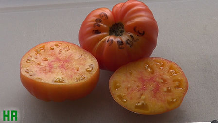 """Here is the Gold Medal Tomato, Solanum lycopersicum. It was introduced as Ruby Gold by John Lewis Childs of Floral Park, New York, in his 1921 catalog. Ben Quisenberry renamed it Gold Medal Tomato and listed it in his 1976 catalog: """"The sweetest tomato you ever tasted. The yellow with streaks of red makes them very attractive and a gourmet's joy when sliced."""" One of our finest bi-colored tomatoeswith orange-yellow splashed with pink. It was the winner of the 2008 SSE Tomato Tasting. Open pollinated Indeterminate 75 to 90 days."""
